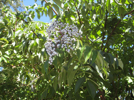 Native Elderberry 2